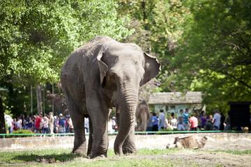 Elephant walking on green grass