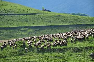 Herd of sheep pasture