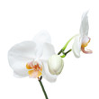 Fife day old white orchid isolated on white background.