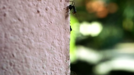 Macro ants moving on wall