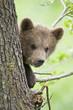 Junge europäische Braunbärenim Baum ((Ursus arctos)