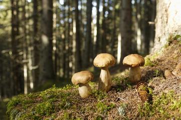 Steinpilze im Wald