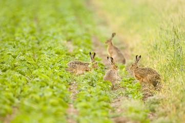 Vier Hasen spielen im Feld