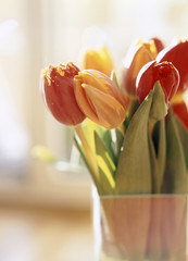 Tulpen Blumen, close-up