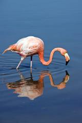 American or Caribbean Flamingo (Phoenicopterus ruber)