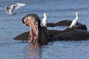 Hippopotamus with Egrets - Botswana