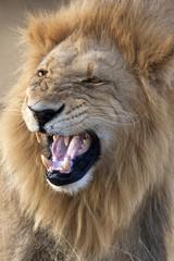 Male Lion - Botswana - Africa