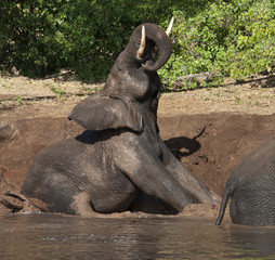 African Elephant - Mud Bath