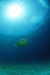 Philippinen, grüne Meeresschildkröte