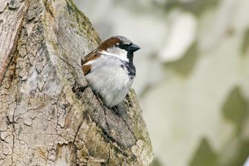 Spatz, Sparrow, Passer domesticus