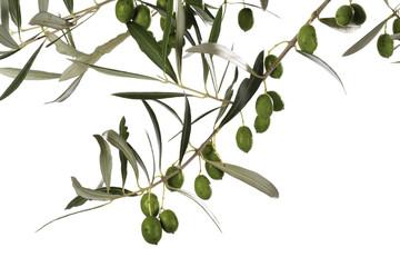 Frische Oliven am Zweig