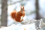 scoiattolo roditore mammiffero in stagione invernale