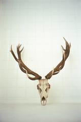 Antilopenschädel
