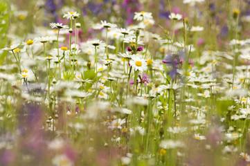 Gänseblümchen im Sommerwiese
