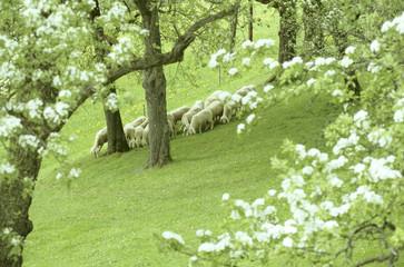 Österreich, große Gruppe Schafe