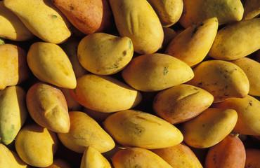 Mangos, Mangifera indica