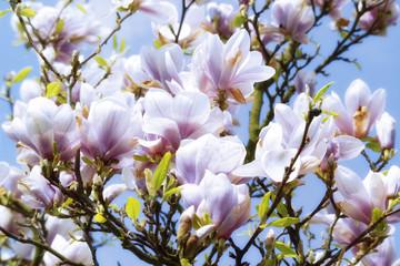 Magnolie, Blüte