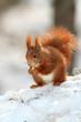 scoiattolo rosso roditore mammiffero selvaggio