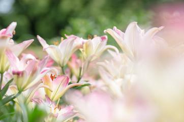白とピンクのユリ