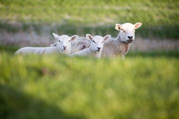 Drei Schafe auf einem Deich