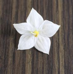 Einzel-Jasmin Blume
