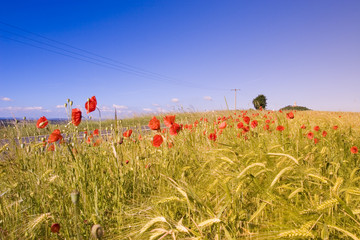 Deutschland, Thüringen, Mohnblumen im Feld
