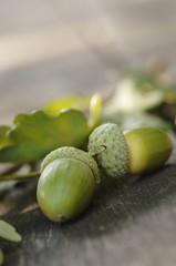 Zwei Eichelfrüchte