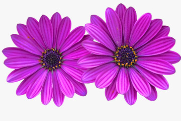 Asteraceae ,purple daisies on white