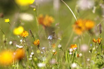 Österreich, Wiese voller Blumen, Blumenwiese