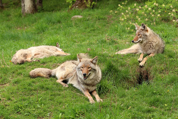 Three coyotes relaxing in the grass