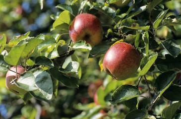 Apfelbäume auf der Wiese