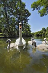 Deutschland, München, Schwäne auf Teich