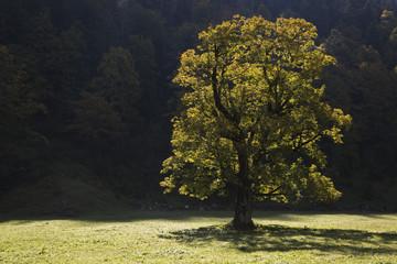 Österreich, Tirol, Karwendel, Feld Ahornbaum