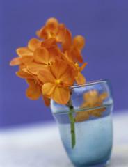 Orange Orchideen