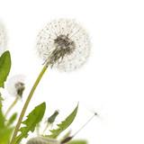 Dandelion White Border - 65418982