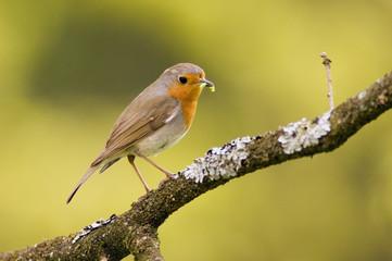 Rotkehlchen, Robin am Zweig (Erithacus rubecula)