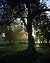 Italien, Olivenbaum Baum im Morgenlicht
