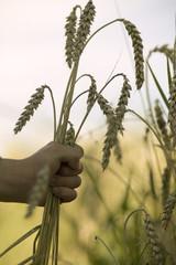 Kinderhand hält Weizen
