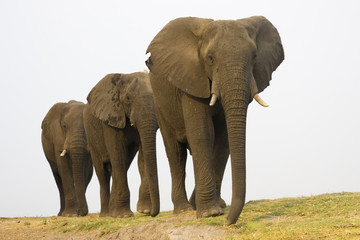 Afrika, Botswana, Chobe National Park, Elefanten in einer Reihe
