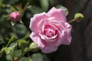 Einzelne Rosenblüte, Ansicht von unten