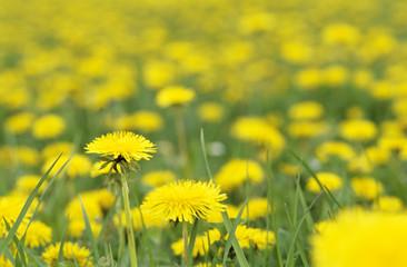 Gelbe Blumen, Löwenzahn