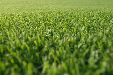 Golf, Rasen