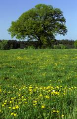 Deutschland, Bayern, Baum auf Sommerwiese