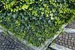 Efeu (Hedera helix)