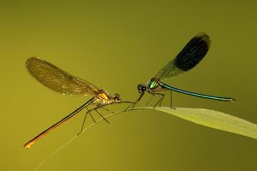 Zwei Libellen auf Blatt, Gebänderte Prachtlibelle