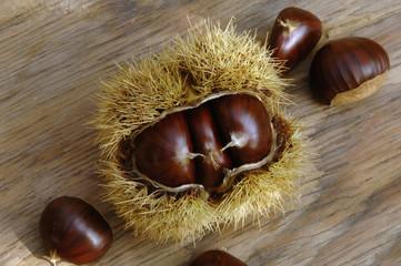 Kastanien (Castanea) in ihren stacheligen Schalen