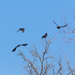 Four crows on a tree