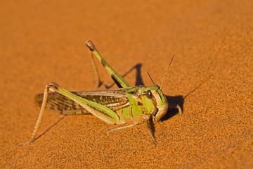 Afrika, Namibia, Namib Wüste, Grasshüpfer
