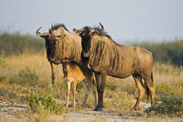 Afrika, Botswana, Gnu und Kalb (Connochaetes taurinus)