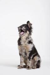 Hund im Studio sitzen gähnen, Portrait